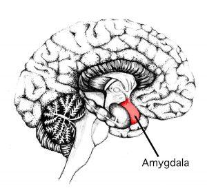 amygdalan